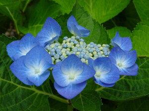 本年度 開花見込み予定 大苗アジサイ ブルースカイ  大苗