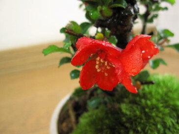 盆栽【母の日ギフト】【長寿梅】【ミニ盆栽】