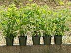 2021年開花のアジサイアナベル貴方の自宅をアナベルアジサイの咲く白いお庭にアナベル苗 アナベル苗 アジサイ  5本セット アジサイ 大苗 セット 7月以降のお届けは開花が終了しており、剪定した状態でのお届けになります