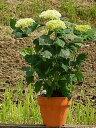 プレゼントに2020年6月頃開花 アジサイ鉢植えアジサイアナベル鉢植えアナベル