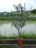 オリーブ マンザ二ロオリーブ 【観葉植物】オリーブ