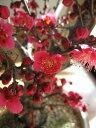 お祝い梅盆栽2021年3月に開花 香りと花の贈り物香りもお花も楽しめる 豪快に咲く紅梅