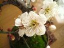 梅盆栽手作り 信楽鉢入り梅盆栽白梅盆栽