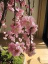 お庭にあると毎年咲くのが待ち遠しくなります!しだれ梅苗2013年3月中頃から末頃開花予定梅の開...