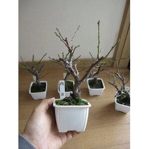 Mini prune [Pour bonsaï] Mini bonne affaire de semis en pot San plum