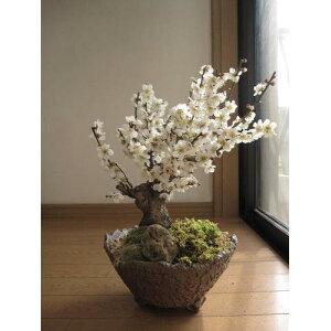 梅盆栽梅梅盆栽 冬至梅盆栽【盆栽】信楽焼き入り白梅盆栽香りと花の贈り物お届けは2020年3月頃開花予定の梅盆栽です