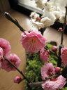 花も綺麗ですがやっばり 梅の甘い天然の香りが最高です。開花 二月中頃〜 紅梅盆栽と 白梅盆...