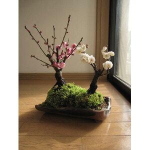 梅盆栽紅白寄せ植え梅盆栽 【梅盆栽】信楽焼き入り紅白梅盆栽2020年3月に開花お祝い梅