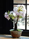 母の日ギフトミニ桜盆栽2021年4月中頃に開花桜盆栽自宅のリビングでお花見 【旭山桜】一才さくら盆栽