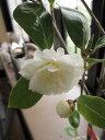 【庭木】 【ツバキ】椿 バターミント 外国椿
