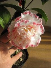 白色、バラ色の覆輪、八重咲き高級椿 【庭木】 【外国ツバキ】【椿】 マーガレット デービス