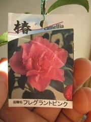 【庭木】 【ツバキ】外国椿 フレグランスピンク 花から香りもあります。