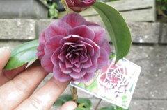 椿の中では珍しい紫の千重咲きの椿 至宝紫に咲く椿信楽鉢植え 【ツバキ】椿苗 椿 至宝