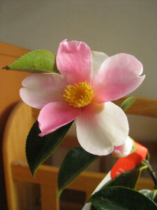 【鉢植】 【ツバキ】【椿】 夢 つばき 信楽鉢入り