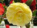 黄花の八重咲きかぎろひ椿 【庭木】 【ツバキ】 椿 かぎろひ 2014年開花苗