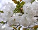 家の庭や玄関に 桜で景色をより美しく  小さな 美化運動は 桜を育てること桜苗【 】【白...