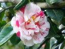 淡桃地、濃紅色の少ない縦絞、八重・ 牡丹咲、【庭木苗】 【ツバキ】 椿 四海波椿