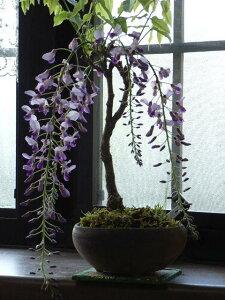 玄関 リビングに一つ綺麗過ぎて すいません花の開花は四月中頃〜五月初旬藤盆栽2014年の春に...