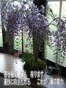 育てる楽しみ藤盆栽2021年4月末頃の開花藤盆栽となります。 【送料無料】盆栽:【藤盆栽】