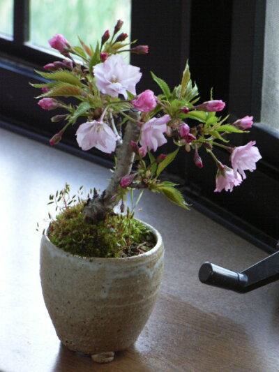桜盆栽盆栽【桜】【ミニ盆栽】【桜盆栽】2014年春に桜が咲きます桜盆栽