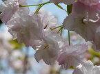 桜の苗 【福禄寿(フクロクジュ)桜】