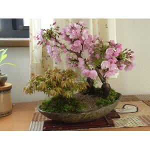 सकुरा बोन्साई [बोन्साई] चेरी फूल और मेपल का पेड़ रोपण मुफ्त शिपिंग 2020 यह फूलों की कलियों के साथ चेरी ब्लॉसम बोनसाई होगा।
