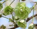 黄桜の桜うこん2021年4月開花ウコン桜鉢植え【桜】桜