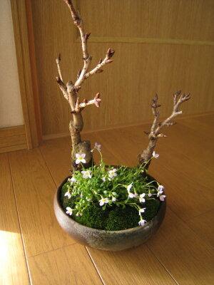 盆栽:桜の盛り合わせ:【送料無料】桜盆栽