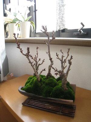 桜盆栽桜並木桜盆栽お祝い桜盆栽信楽鉢入り送料無料