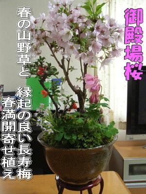 ギフト盆栽寄せ植え桜盆栽ギフト【送料無料】桜盆栽