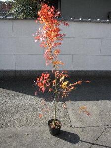 紅葉といえばイロハモミジ苗も...