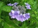 八重咲きのガクアジサイ「城ヶ崎」伊豆半島東側の城ヶ崎一帯に生息していたためにこの名前がつ...