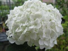 自宅の庭を白いアナベルの綺麗な庭に送料無料当店おススメ アナベル アジサイ  アジサイ 大...