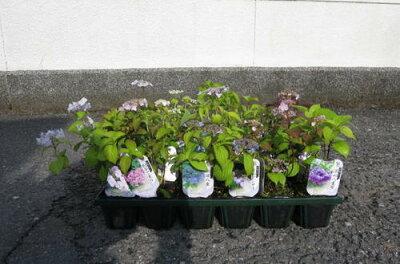 送料無料.2012年山アジサイ20点セット小苗いちばん人気アジサイ20セットでお庭を彩る紫陽花