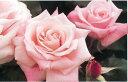 外側の花弁がローズピンクに染まり、美しいコントラストを見せます。株に近づくだけで香ります...