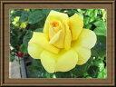 褪色の少ないミモザのような鮮やかな黄色の花色です。クラシカルな花形と鮮やかな色彩がマッチしています。ルネサンス期の天才芸術家の名を冠しました。】【バラ苗】【ミケランジェロ 】