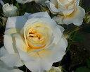 花の中心に明かりを灯したような黄色がたいへん印象的な花を、たくさん咲かせます。【バラ】【...