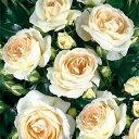 マリー・アントワネットとその時代をイメージしたエレガントなバラです。【バラ】【バラ苗】 ...