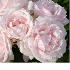 フランス王妃マリー・アントワネットが愛した離宮プチ・トリアノンの名を冠したバラです花の寿...