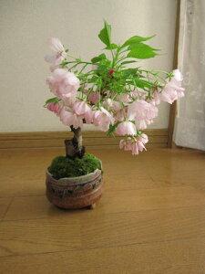 桜盆栽毎日の水だけで  2017年...