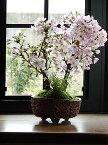 お誕生日プレゼントに自宅でお花見2021年4月開花盆栽桜盆栽殿場桜信楽鉢入り 御殿場桜盆栽海外でも BONSAI ボンサイ 育てて来年のお花見を楽します