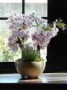 お誕生日プレゼントにさくら盆栽2021年4月中頃に開花のさくら盆栽です桜盆栽ツイン桜盆栽信楽鉢入り