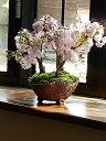 さくら盆栽2021年4月に桜の満開のお花見が楽しめる桜盆栽サ