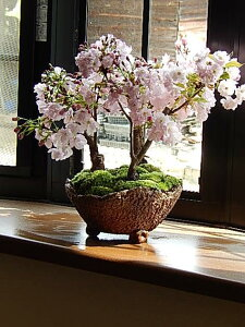 お祝い桜の盛り合わせ開花は毎年 4月中頃桜の寄せ植え開花時期 四月初旬〜中頃桜盆栽2015年自...