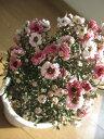 可愛い花は,ニュージーランドの国花にもなっています。魚柳梅(ギョリュウバイ) ピンク八重咲き...