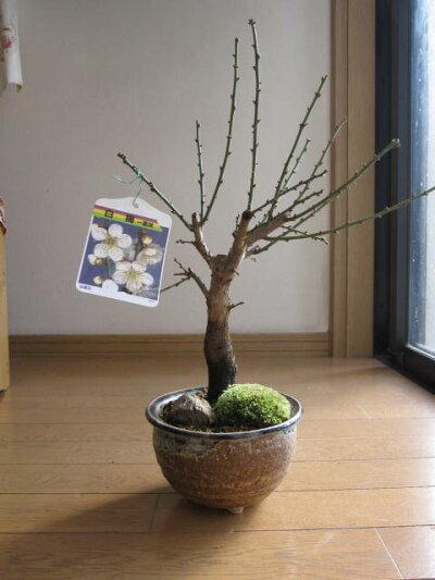 盆栽:白梅盆栽梅盆栽開花時期は2月頃です