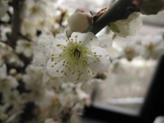 盆栽:白梅盆栽梅盆栽開花時期は2月頃です玄関を彩る梅の花白梅