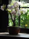 自宅でお花見さくら2021年4月に開花桜盆栽南殿桜盆栽 八重咲き南殿桜