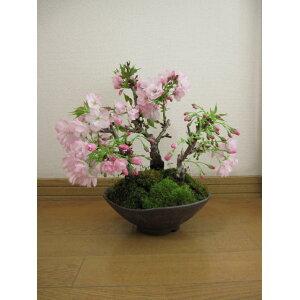 Yaezakura Bonsai Sakura Bonsai Vous pouvez profiter de l'observation des fleurs de cerisier. Sakura bonsai Shigaraki en pot Il s'agit d'un bonsaï à fleurs de cerisier qui ouvre à la mi-avril 2020. livraison gratuite