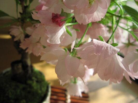 桜盆栽【桜】お花見さくら【ミニサクラ盆栽】【桜盆栽】2016年春に桜が咲きます八重咲サクラ盆栽ミニ桜盆栽